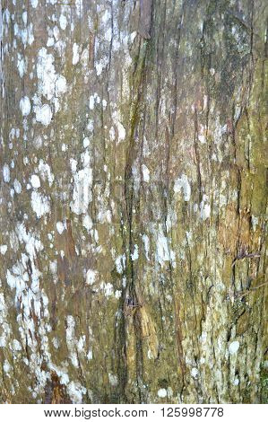 Old tree bark texture with moss and white spots