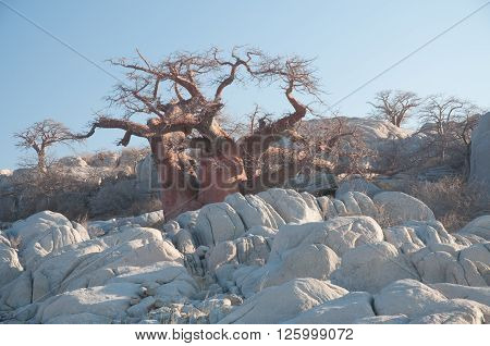 Babobab Tree Among Granite Boulders