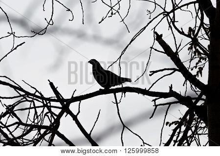 Silhouette of male Hazel grouse sitting on a tree