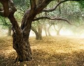 stock photo of olive trees  - Old Olive Trees - JPG