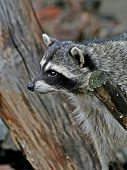 Amusing  Raccoon.