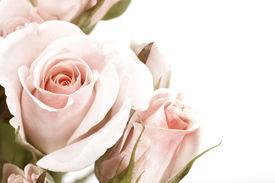 image of rose flower  - Roses Border in Sepia - JPG