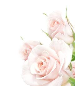 picture of rose flower  - Roses Border - JPG