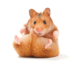 picture of gerbil  - Funny Hamster - JPG