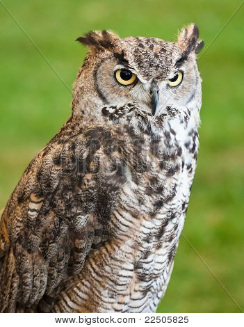 Brown Owl Against A Grassy Background