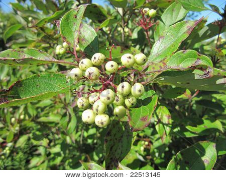 White berries of the poison sumac plant in summer