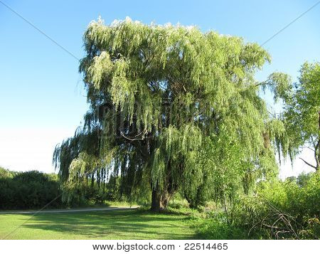 Big Tall Willow Tree at Bode Lake