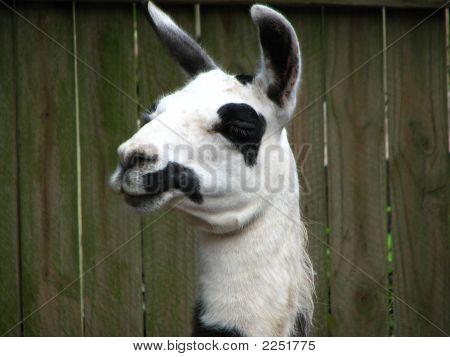 Headshot Of Llama