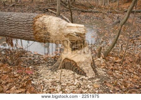 Tree Cut Down By Beavers