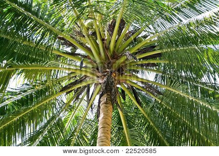 fresh green leaves of the coconut tree