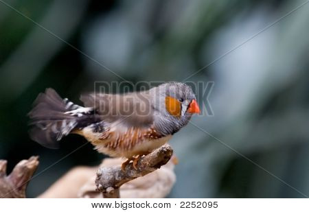 Moving Zebra Finch