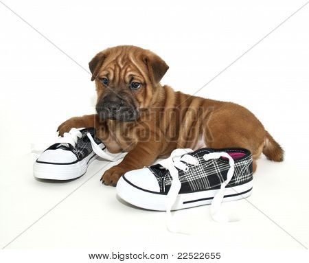 Cachorro de Shar Pei