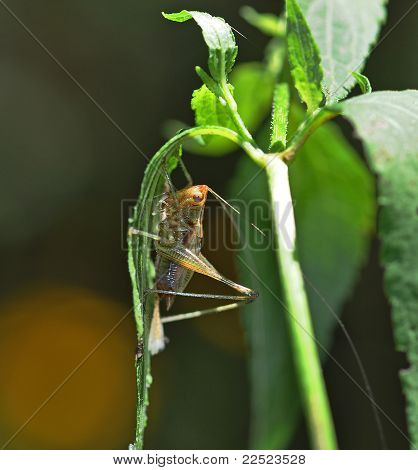 Newly Hatched Katydid