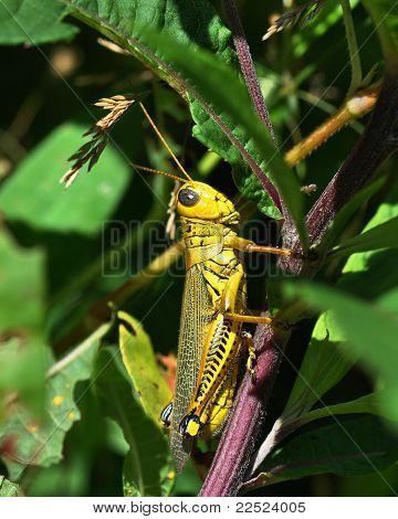 Spur-Throated Grasshopper (Melanoplus ponderosus)