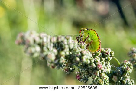 Bedbug On The Vegetation