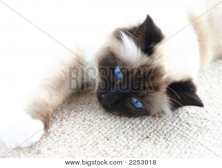 Burman Cat With Blue Eyes On White
