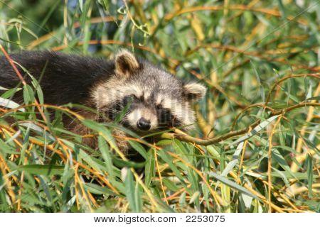 Little Raccoon