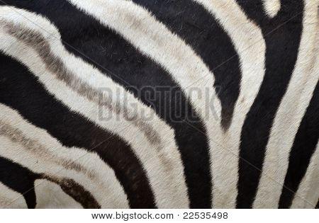 Zebra Haut