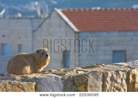 Rock Hyrax (Procavia Capensis) At Sunset