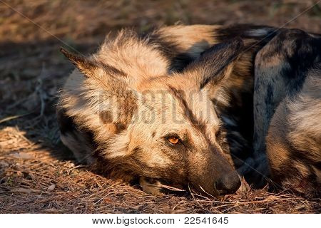 Wild Dog Lying In The On Grass In Sun