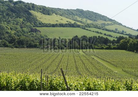 Vineyard At Foot Of North Downs.