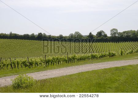 English Vineyard In Surrey. UK