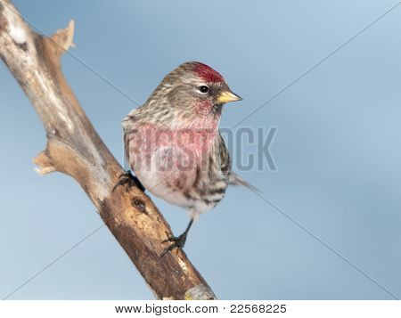 Common Redpoll Carduelis Flammea
