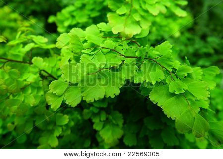 Fern plant family.
