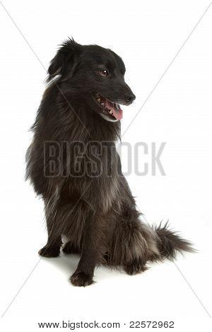Pyrenean Shepherd Or Pyrenees Sheepdog