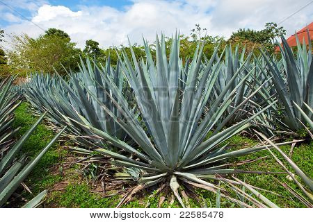 Agave. Mexico.