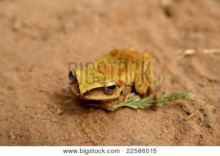 Golden Frog On The Sand