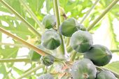 Papaya A Tropical Fruit Tree