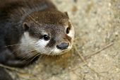 Постер, плакат: The Asian Small clawed Otter Also Known As The Oriental Small clawed Otter Or Simply Small clawed Ot