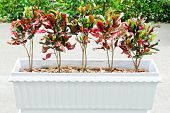 image of crotons  - Croton were planted on the white pot around the walkway in front of the school - JPG