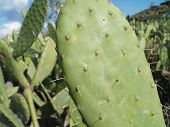 pic of coccus  - Cochineal beatle cactus field on Lanzarote - JPG