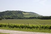 picture of dork  - English vineyard at foot of Box Hill on the North Downs - JPG