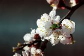 Apricot Tree Flowers. Spring White Flowers On A Tree Branch. Apricot Tree In Bloom. Spring Seasons T poster