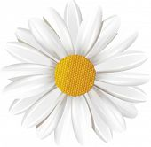 Camomile.  All elements and textures are individual objects. Vector illustration scale to any size.