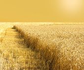 Golden Field Of Wheat During The Harvest In Late Summer. Harvesting. Cereal Field poster