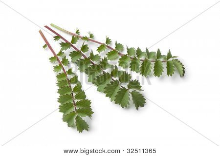 Fresh small burnet leaves on white background