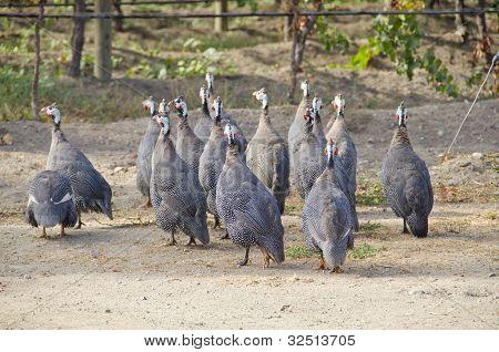 African Guinea Hens in a Organic Vineyard