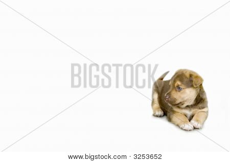 Puppy Sitting On White Background