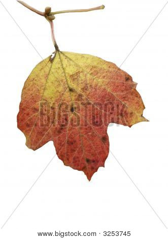Autumnal Leaf On White Background