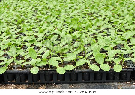 Squash Seedlings