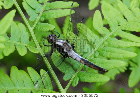 Dragonfly On Green Northern Fern