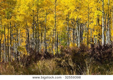 Thick Aspen Forest In Fall