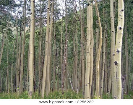 Aspen Tree Barks