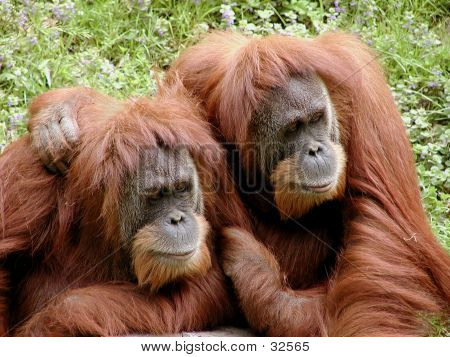 Orangutan Friends