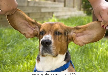 Big Ear Beagle