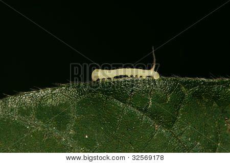 Beans Convolvuli Larvae